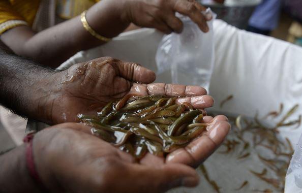 Nuốt cá sống - cách chữa bệnh suyễn bí truyền đáng sợ và phản khoa học nhưng vẫn được người dân Ấn Độ tôn sùng - Ảnh 2.