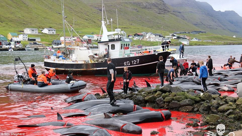 Cả vùng nước chuyển đỏ vì máu: Thảm cảnh hàng ngàn chú cá voi hoa tiêu bị giết hại, xả thịt dã man bên bờ biển - Ảnh 1.