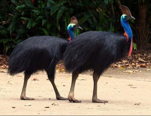 Cận cảnh loài chim nguy hiểm nhất thế giới được ghi trong kỷ lục Guinness - Ảnh 1.