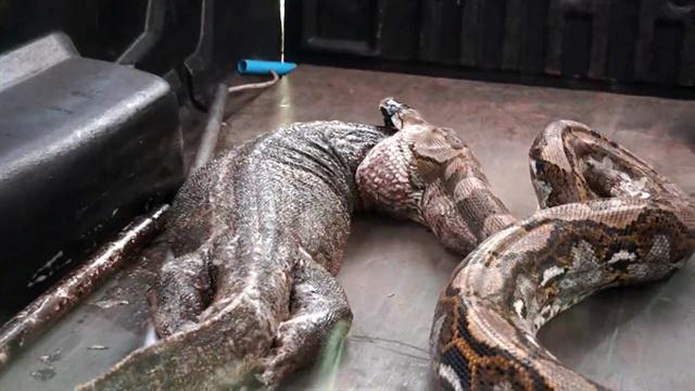 Đi săn sai địa điểm, trăn khổng lồ bị ép nôn sạch con mồi dù đã ăn được cả tiếng - Ảnh 2.