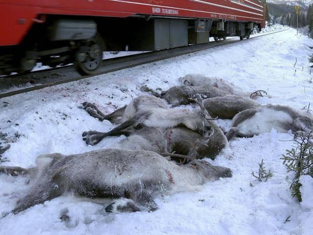 """Trước thềm giáng sinh cận kề, hơn 100 chú tuần lộc tại Na Uy bị """"thảm sát"""" trên đường ray xe lửa - Ảnh 1."""