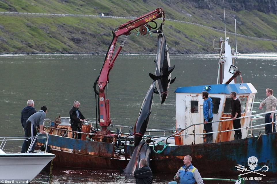 Cả vùng nước chuyển đỏ vì máu: Thảm cảnh hàng ngàn chú cá voi hoa tiêu bị giết hại, xả thịt dã man bên bờ biển - Ảnh 4.