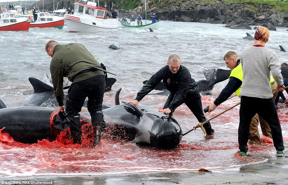 Hình ảnh bờ biển Đan Mạch nhuốm đỏ màu máu trong vụ thảm sát cá voi gây phẫn nộ trên toàn thế giới - Ảnh 3.