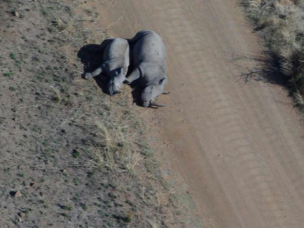 Hình ảnh xác chú tê giác sơ sinh gây nhói lòng: Những kẻ săn trộm không tha cả sinh linh chưa chào đời - Ảnh 2.