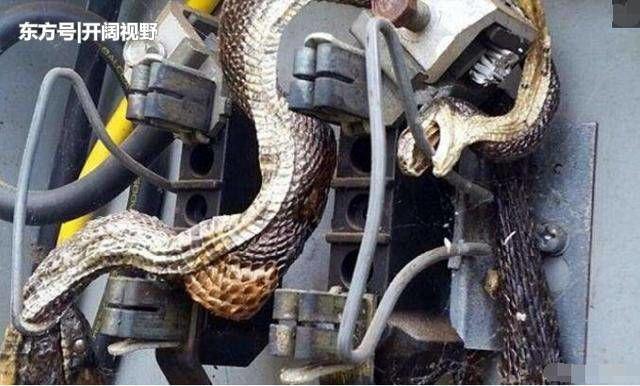 Người thợ sửa điện đã phải hết sức vất vả mới gỡ được con rắn đã bị giật chết đến cứng đờ ra khỏi đường dây trong tủ điện.