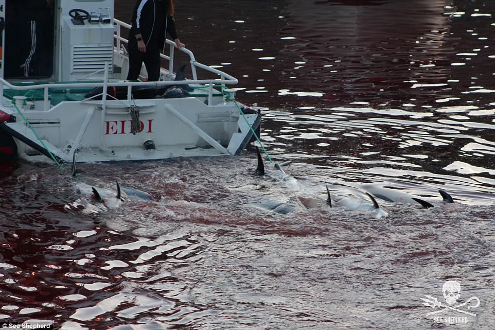 Cả vùng nước chuyển đỏ vì máu: Thảm cảnh hàng ngàn chú cá voi hoa tiêu bị giết hại, xả thịt dã man bên bờ biển - Ảnh 5.