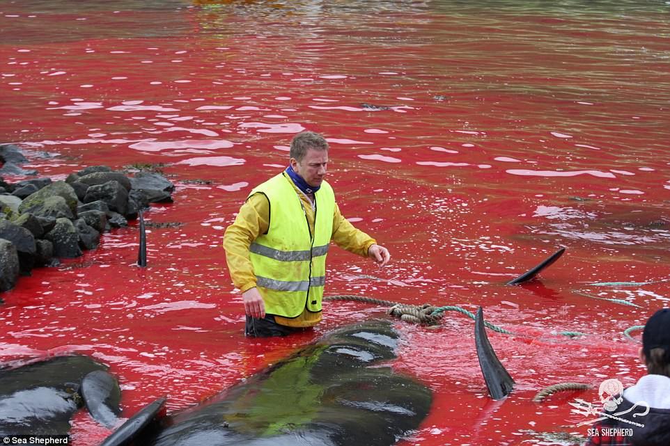 Cả vùng nước chuyển đỏ vì máu: Thảm cảnh hàng ngàn chú cá voi hoa tiêu bị giết hại, xả thịt dã man bên bờ biển - Ảnh 7.