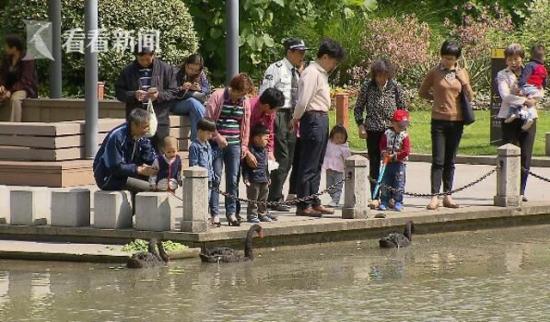 Hết vùi hoa dập liễu, du khách Trung Quốc lại hồn nhiên coi thiên nga như... vịt nhà mình - Ảnh 4.