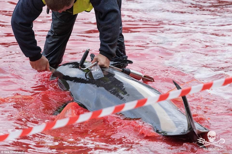 Cả vùng nước chuyển đỏ vì máu: Thảm cảnh hàng ngàn chú cá voi hoa tiêu bị giết hại, xả thịt dã man bên bờ biển - Ảnh 2.