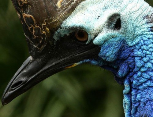 Cận cảnh loài chim nguy hiểm nhất thế giới được ghi trong kỷ lục Guinness - Ảnh 4.