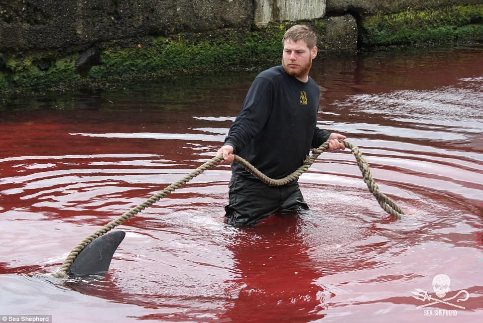 Cả vùng nước chuyển đỏ vì máu: Thảm cảnh hàng ngàn chú cá voi hoa tiêu bị giết hại, xả thịt dã man bên bờ biển - Ảnh 8.