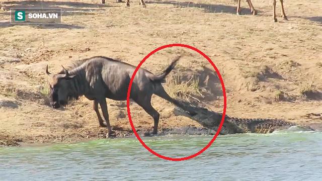 Khúc sông tử thần: Trận kịch chiến giữa cá sấu và linh dương đầu bò - Ảnh 11.