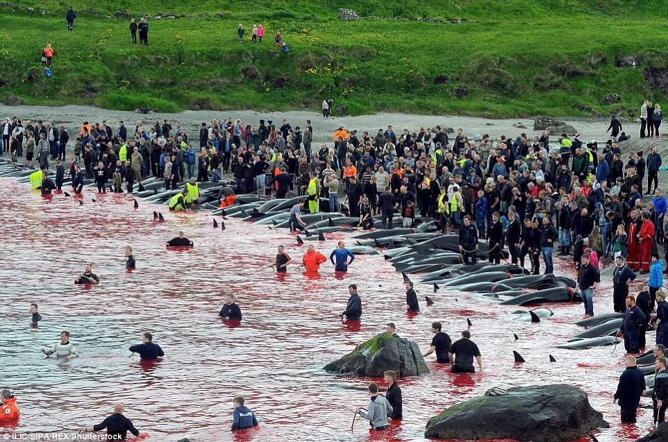 Hình ảnh bờ biển Đan Mạch nhuốm đỏ màu máu trong vụ thảm sát cá voi gây phẫn nộ trên toàn thế giới - Ảnh 4.