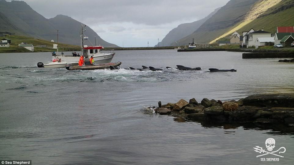Cả vùng nước chuyển đỏ vì máu: Thảm cảnh hàng ngàn chú cá voi hoa tiêu bị giết hại, xả thịt dã man bên bờ biển - Ảnh 3.