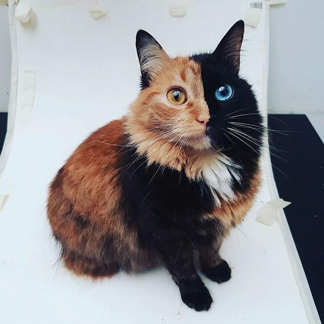 Trông như kết quả của một cuộc tình ngang trái, hóa ra cô mèo đặc biệt này gặp vấn đề về gen - Ảnh 7.