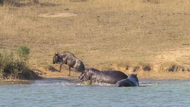 Khúc sông tử thần: Trận kịch chiến giữa cá sấu và linh dương đầu bò - Ảnh 12.