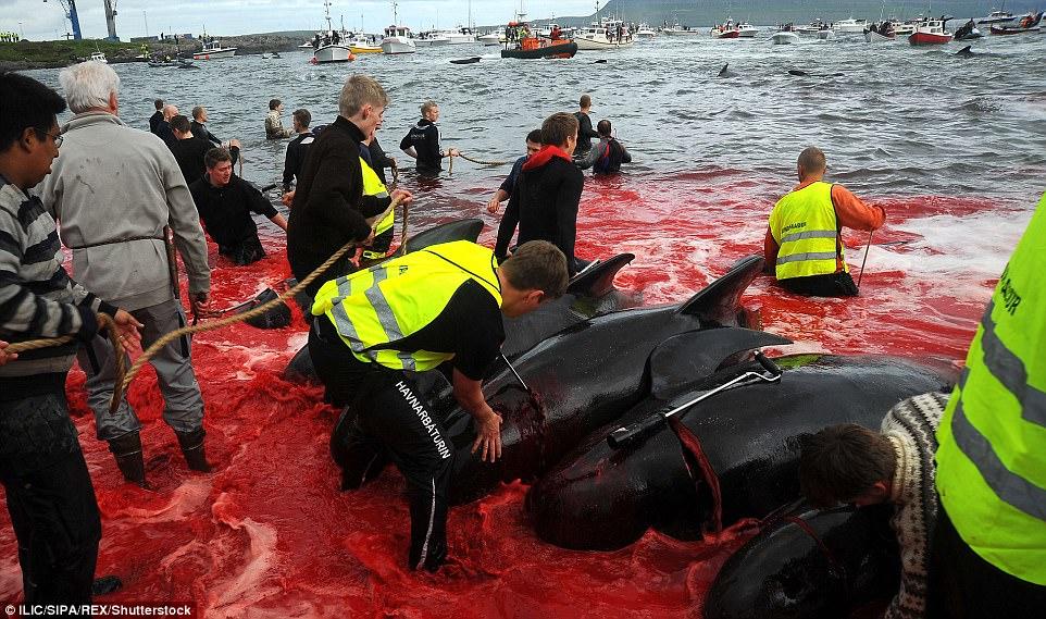Hình ảnh bờ biển Đan Mạch nhuốm đỏ màu máu trong vụ thảm sát cá voi gây phẫn nộ trên toàn thế giới - Ảnh 5.