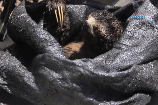 Con lười bị bắt vào trong bao trước khi đem đi bán.