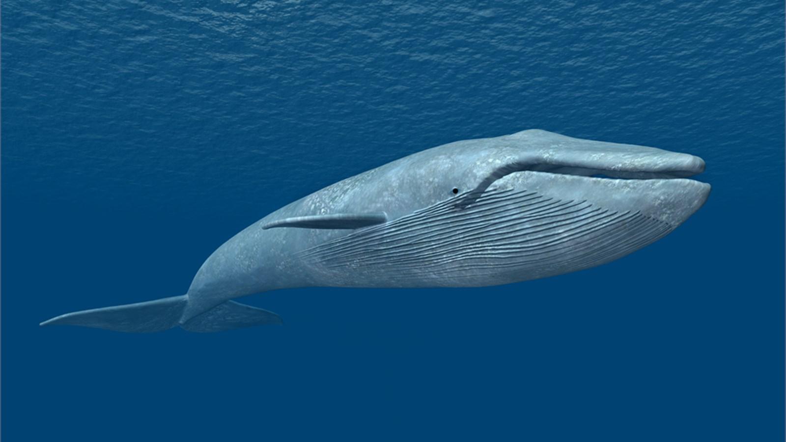 Dù lẻ bóng nhưng vẫn luôn lạc quan sống giống như chú cá voi cô độc nhất hành tinh này - Ảnh 2.