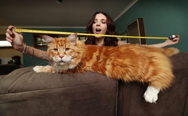 Đã tìm thấy con mèo lớn nhất thế giới dài 1,2m, thậm chí còn chưa phát triển hết - Ảnh 1.