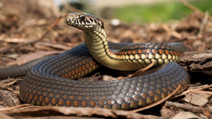 Loài rắn sẽ bị mù khi hè sang - và sự thật khiến bạn rùng mình - Ảnh 1.