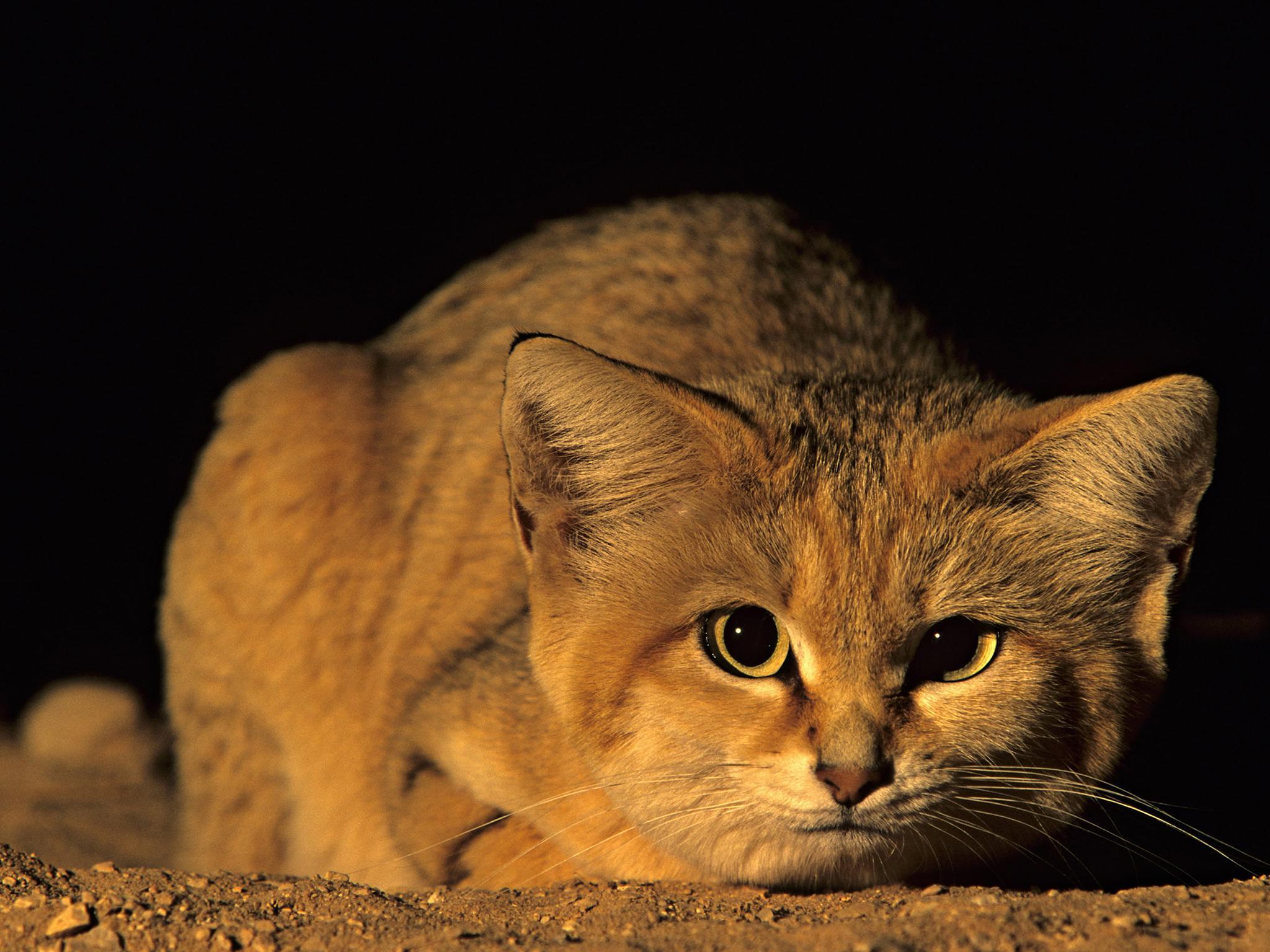 Giống mèo mini mới được ghi hình lần đầu tiên tại sa mạc - Ảnh 20.