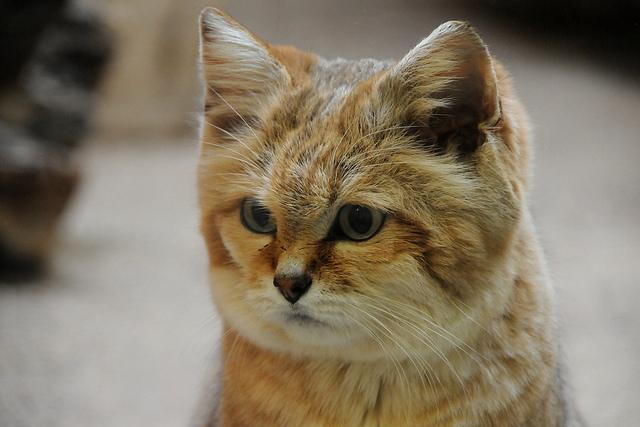 Giống mèo mini mới được ghi hình lần đầu tiên tại sa mạc - Ảnh 22.