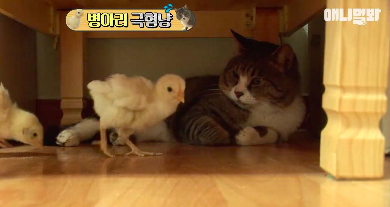 Chú mèo nổi tiếng cả Hàn Quốc vì dành cả thanh xuân để sợ gà - Ảnh 2.