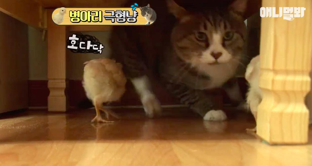 Chú mèo nổi tiếng cả Hàn Quốc vì dành cả thanh xuân để sợ gà - Ảnh 3.