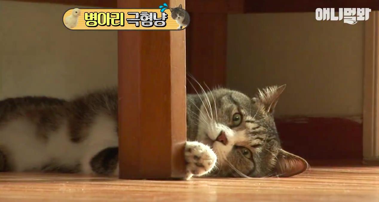 Chú mèo nổi tiếng cả Hàn Quốc vì dành cả thanh xuân để sợ gà - Ảnh 8.