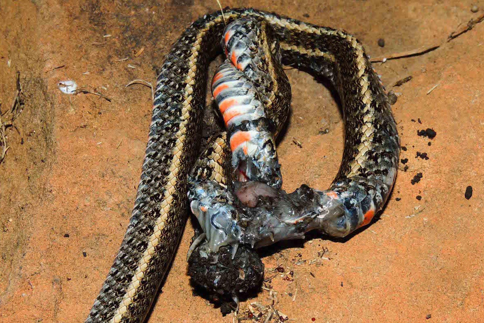 Nhện khổng lồ xả thịt rắn - cảnh tượng khoa học chưa từng thấy bao giờ - Ảnh 3.