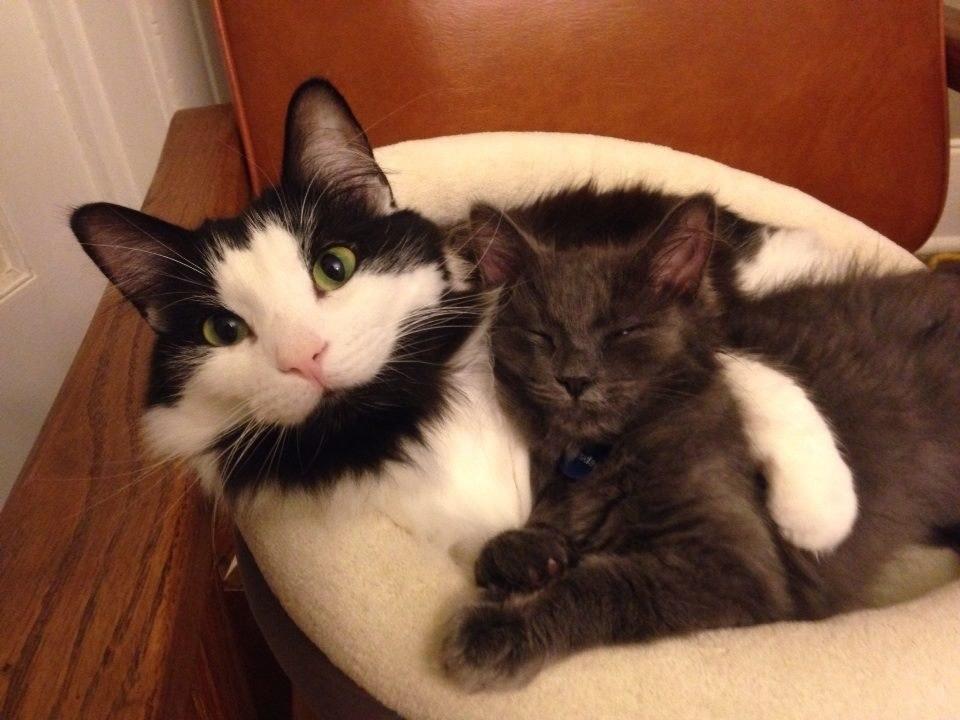 Chân dung 17 con mèo to xác khiến con người cũng phát hoảng - Ảnh 25.