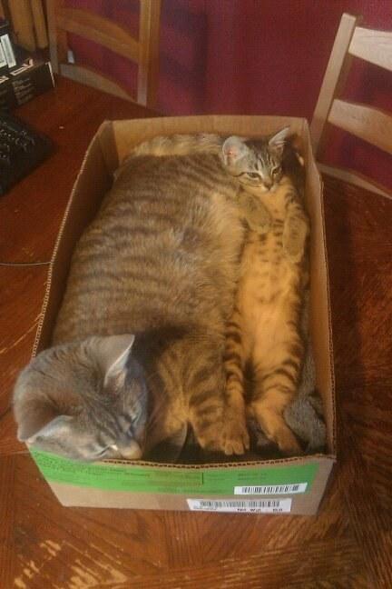 Chân dung 17 con mèo to xác khiến con người cũng phát hoảng - Ảnh 27.