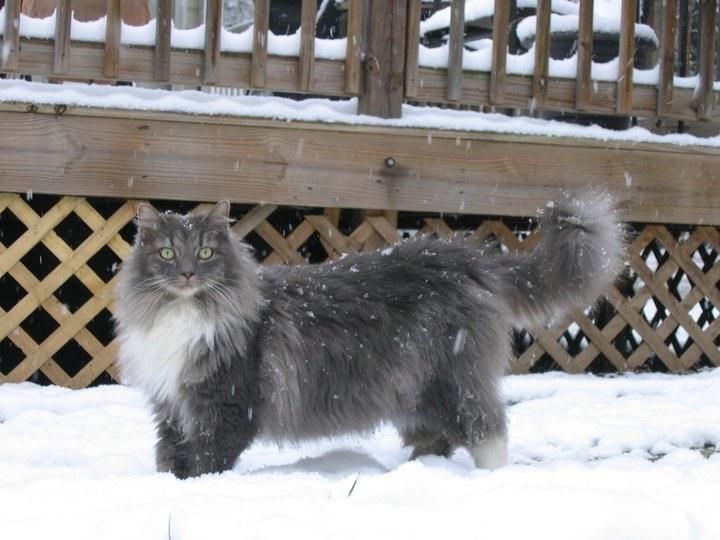Chân dung 17 con mèo to xác khiến con người cũng phát hoảng - Ảnh 29.
