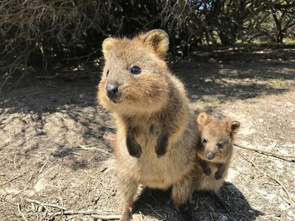 Chỉ ước mình được như loài chuột túi mini hạnh phúc và vui vẻ nhất thế gian - Ảnh 25.