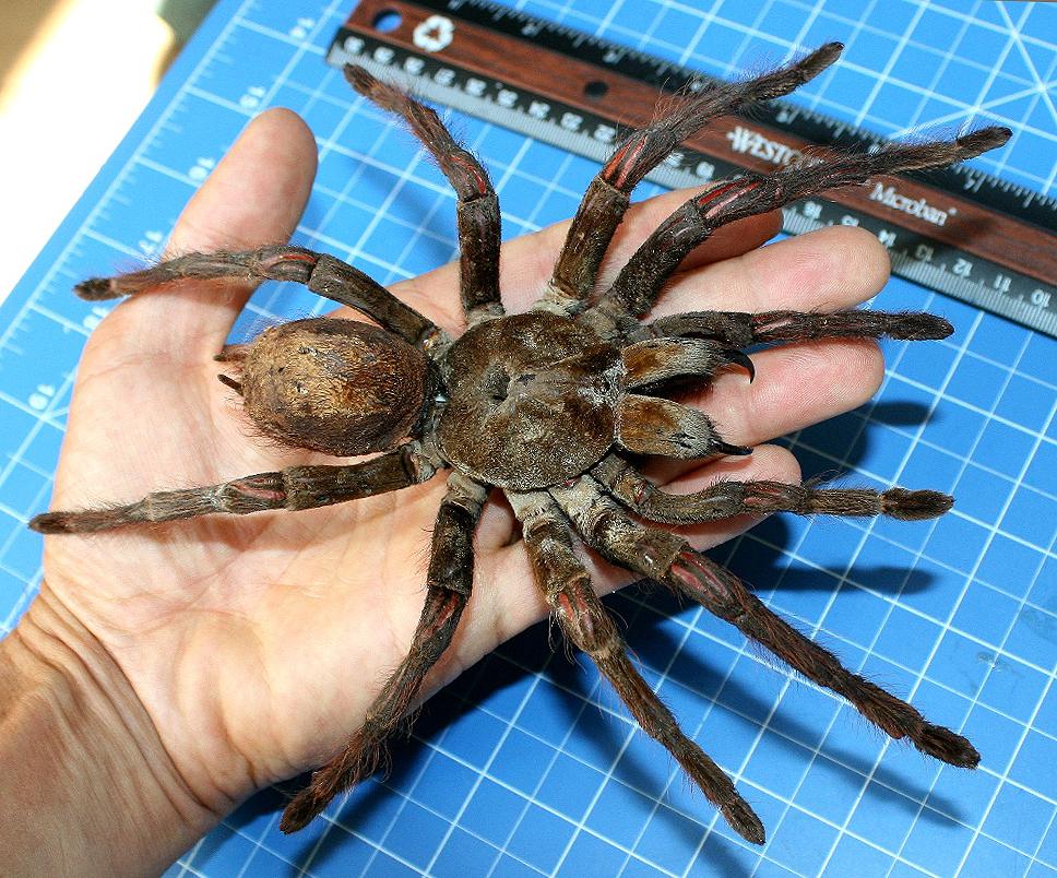 Cận cảnh loài nhện lớn nhất thế giới - có thể xơi tái chuột trong chớp mắt - Ảnh 1.