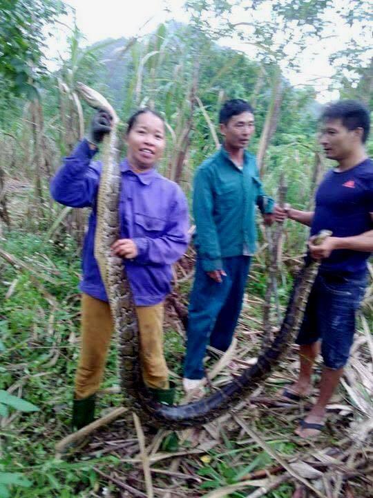 Nghệ An: Đang thu hoạch mía, người dân bất ngờ bắt được 2 con trăn gấm quý hiếm nặng hàng chục kg - Ảnh 1.