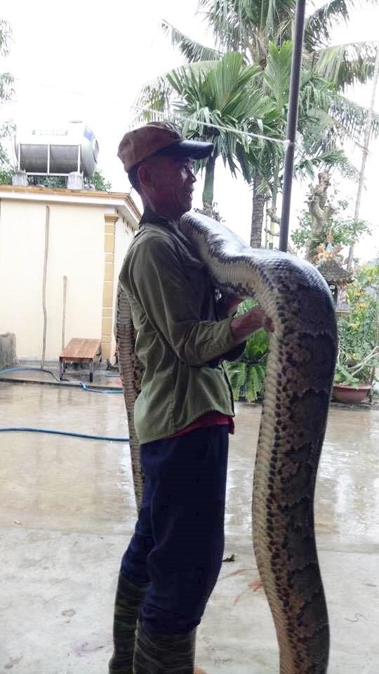 Nghệ An: Đang thu hoạch mía, người dân bất ngờ bắt được 2 con trăn gấm quý hiếm nặng hàng chục kg - Ảnh 2.