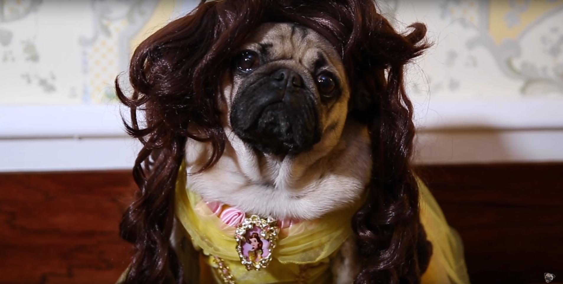 Phim ngắn hài hước ăn theo siêu phẩm Người đẹp và Quái vật của cặp đôi chó pug - Ảnh 4.