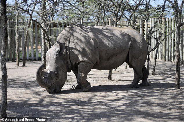 Thế nào là tuyệt chủng? Chú tê giác trắng cuối cùng trên Trái đất sẽ giúp bạn hiểu điều đó - Ảnh 3.