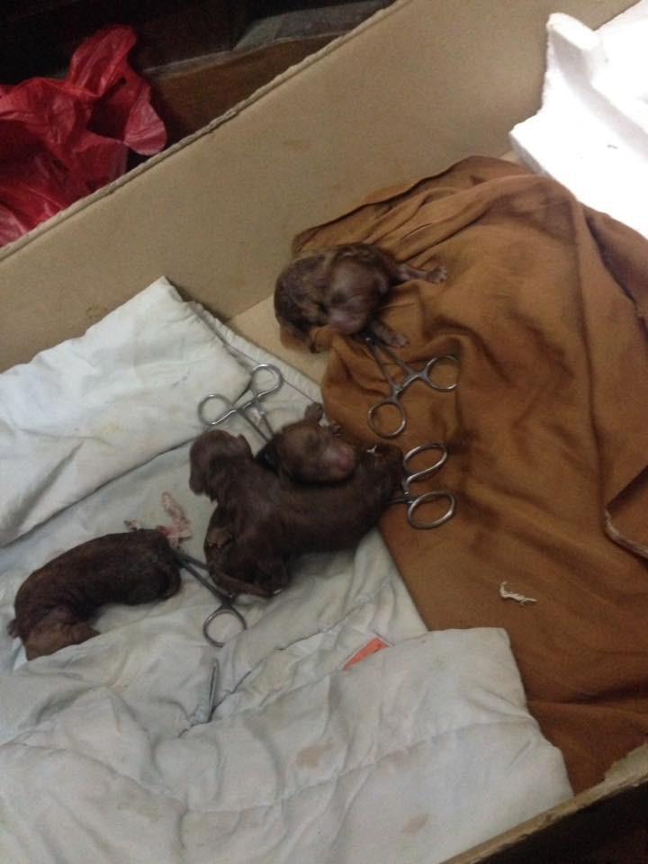 Chủ quên không tắt máy sưởi, đàn chó Poodle 8 con bị chết cháy - Ảnh 3.
