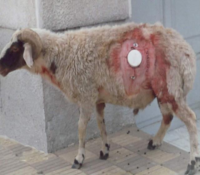 Đục lỗ trên thân bò - công cụ chăn nuôi tuyệt vời hay minh chứng cho sự quá đáng của con người? - Ảnh 2.