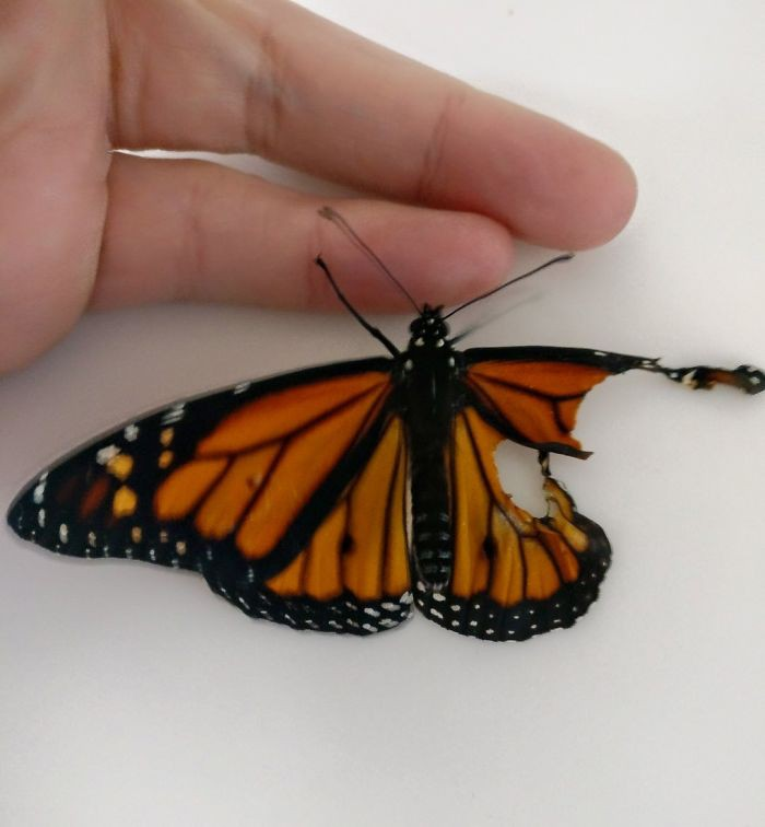 Chú bướm sắp chết vì rách cánh, chỉ với vật dụng có sẵn, người phụ nữ đã làm nên ca phẫu thuật kỳ diệu - Ảnh 1.