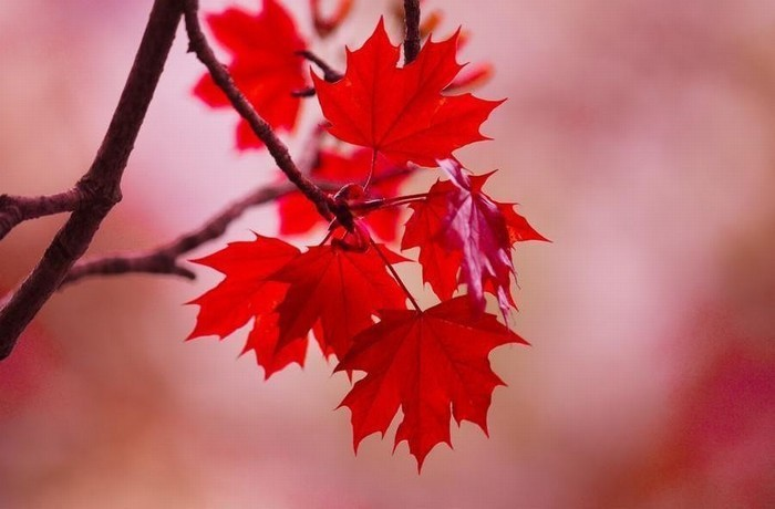 """Cây phong lá đỏ """"hot hit"""" mấy ngày nay nhưng bạn có thực sự biết về loại cây này? - Ảnh 4."""