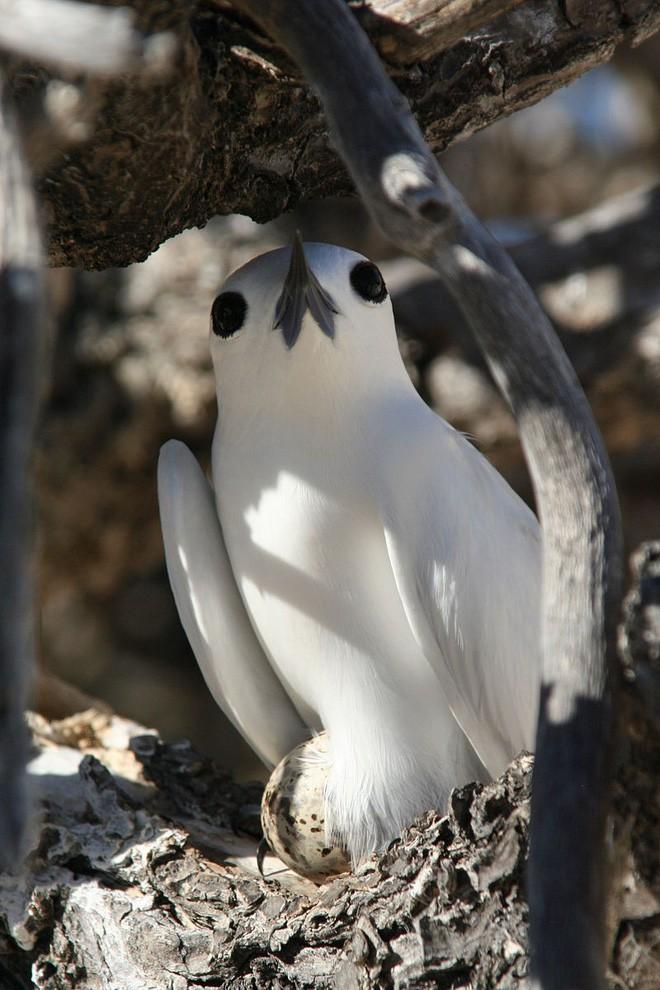 Loài chim lười nhất thế giới: Đẻ trứng trên cành cây, rơi vỡ đẻ quả khác - Ảnh 6.