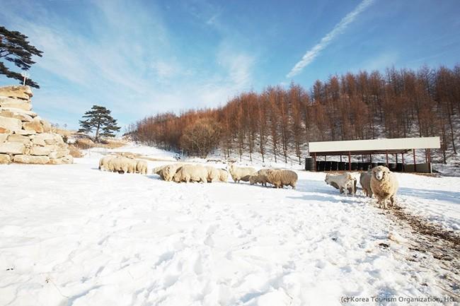Đến Hàn Quốc, nhớ ghé trại cừu đẹp như phim mà Xuân Trường đã hẹn hò cùng bạn gái tin đồn - Ảnh 10.