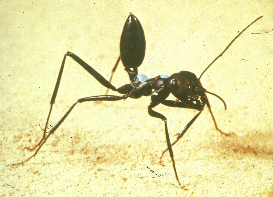 Đây là loài kiến kỳ lạ nhất sa mạc: Giải được cả toán lượng giác nhưng... quên luôn quê hương nếu thấy đồ ngon - Ảnh 2.