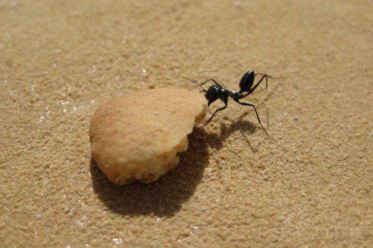 Đây là loài kiến kỳ lạ nhất sa mạc: Giải được cả toán lượng giác nhưng... quên luôn quê hương nếu thấy đồ ngon - Ảnh 3.
