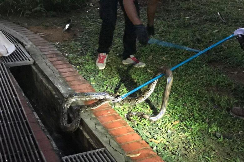 Singapore: Đi tìm mèo lạc lúc 4 giờ sáng, người phụ nữ bị trăn dài 3m tấn công - Ảnh 3.