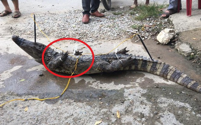 Cột chặt miệng, trói vặn 4 chân cá sấu rồi kích điện: Cảnh tượng đó tôi thấy mà ghê người - Ảnh 1.